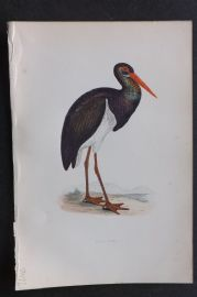 Morris 1870 Antique Bird Print. Black Stork